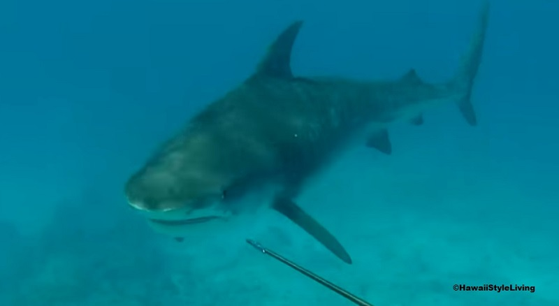 tiger shark vs spearfisherman hawaii