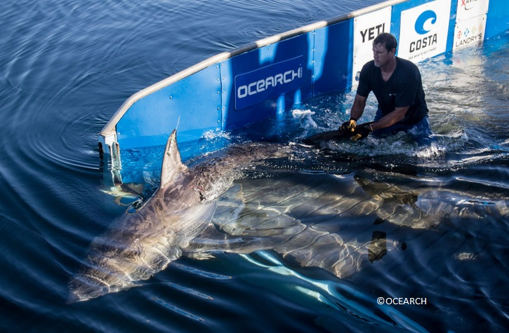 OCEARCH releases a great white shark