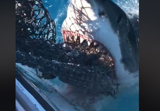 Video: 15-foot Great white snags chum bag in the Florida Keys