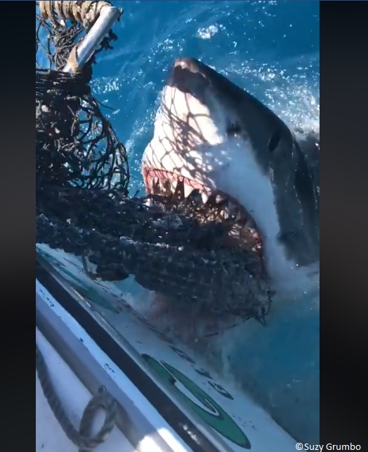 great white shark in the florida keys bites a chum bag