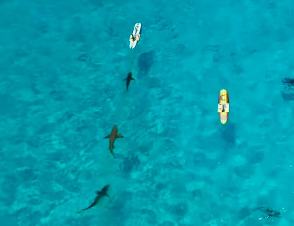 sharks lined up following blood in the current.