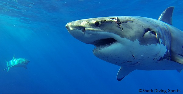 Go great white shark diving with Tracking Sharks