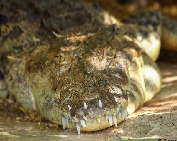 Crocodile with the teeth of his lower jaw have drilled through his upper jaw.