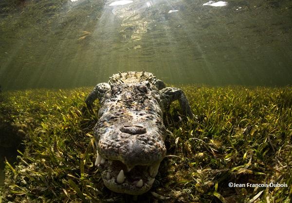 Massive Mexico alligator Gambit