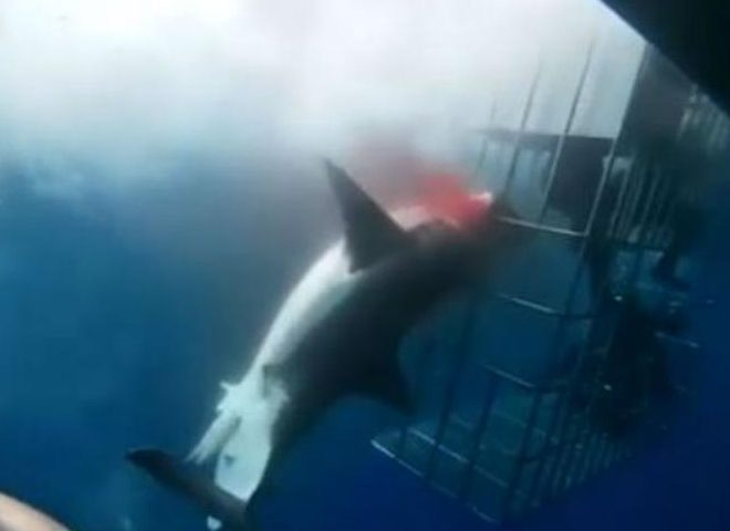 great white crashes into a cage