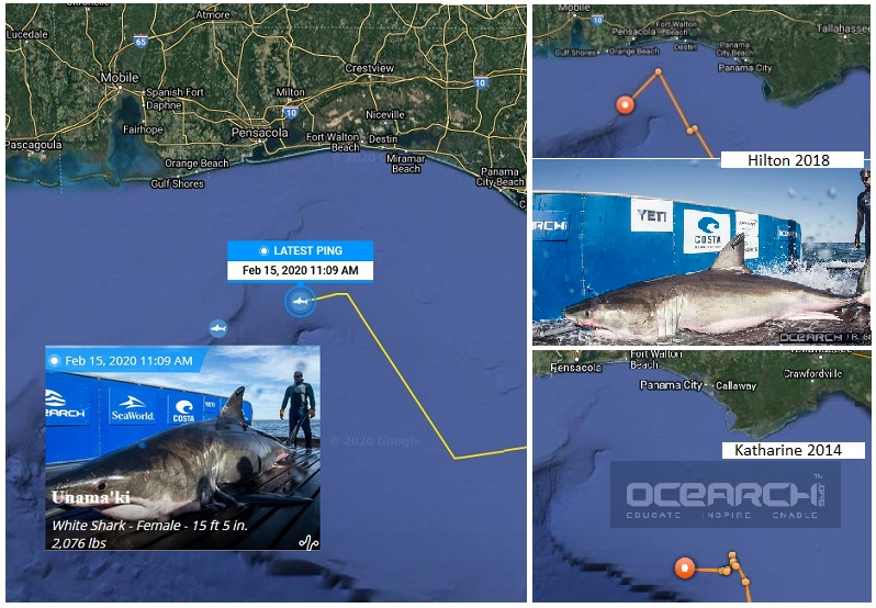 Third great white shark 50 miles off Pensacola Beach