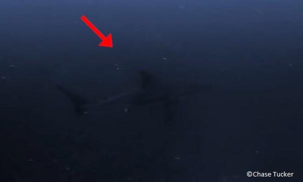 white shark off the coast of Alabama near Florida